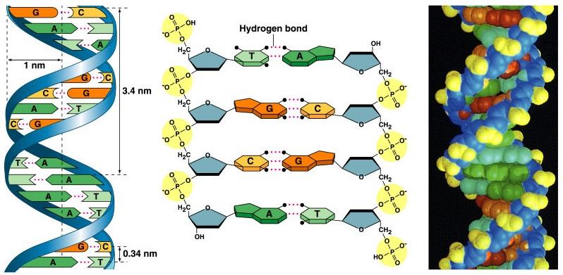 Cbse class 12 biology molecular basis of inhritance